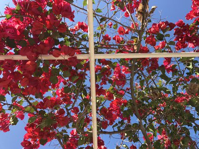 Bouganvillea Again